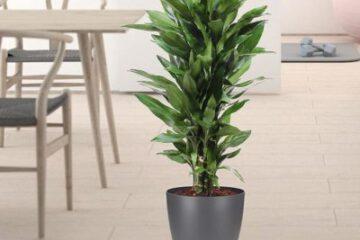 گیاه دراسنا کامپکت را بیشتر بشناسید