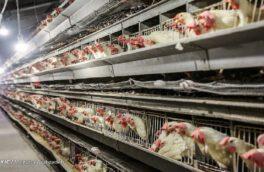 افت ۱۰ هزار تومانی قیمت مرغ در بازار