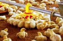 صادرات ۳ هزار و ۳۰۰ تن تخم مرغ به بازارهای هدف/مرغداران تخم گذار در ورطه نابودی قرار دارند