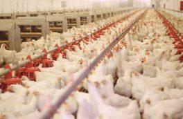 مرغ هایی که ۲۵۰ میلیون دلار ارز خارج کردند!