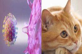 کروناویروس از طریق گربه قابل انتقال است