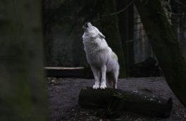 فیلمی از رها سازی یک قلاده گرگ در طبیعت